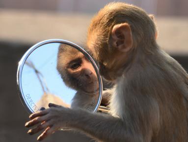 Seekor monyet memandangi bayangan dirinya sendiri di kaca spion sepeda motor milik pengunjung kuil di Jaipur, negara bagian Rajasthan, India, 16 Desember 2016. (AFP PHOTO/DOMINIQUE Faget)