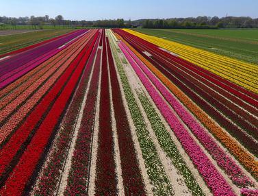 Warna-warni Ladang Bunga Tulip di Jerman