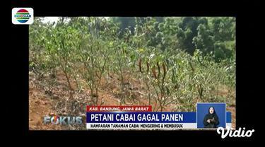 Gagal panen cabai karena kekeringan, sejumlah petani di Kabupaten Bandung, Jawa Barat, beralih menanam palawija.