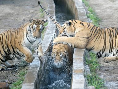 Harimau Siberia terlihat dalam Taman Harimau Siberia Hengdaohezi di Kota Hailin, Provinsi Heilongjiang, China, Senin (27/7/2020). Saat ini, terdapat lebih dari 400 ekor harimau Siberia di taman tersebut. (Xinhua/Wang Jianwei)
