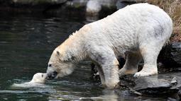 Bayi beruang kutub dan ibunya yang bernama Tonja bermain dalam kandang mereka di Kebun Binatang Tierpark, Berlin, Jerman, Jumat (15/3). Bayi beruang kutub tersebut lahir pada 1 Desember 2018. (John MACDOUGALL/AFP)