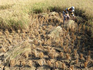 Petani di Bekasi Gagal Panen