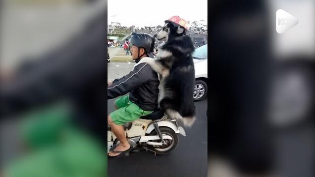 Seorang anjing menunjukkan kedekatannya dengan sang majikan dengan dibonceng bareng naik motor dan bergaya seperti manusia.