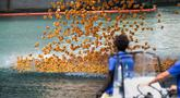 Ribuan bebek karet dilemparkan ke sungai Chicago untuk acara penggalangan dana tahunan Derby Ducky d   i pusat kota Chicago, Kamis (9/8). Semua dana yang terkumpul akan digunakan untuk Special Olympics Illinois. (Colin Boyle/Chicago Sun-Times via AP)