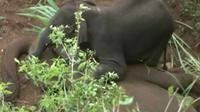 Seekor induk gajah berusia 25 tahun mati mendadak sehingga anaknya yang berusia 2 tahun terus mencoba untuk menghidupkannya kembali. (Sumber Reuters via Daily Mail)