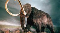 Replika mammoth berbulu yang diduga menjadi santapan manusia Neanderthal. (Sumber The Guardian)