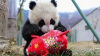 Seekor panda bermain dengan boneka babi di kandangnya menjelang  Tahun Baru Imlek,di provinsi Sichuan, China, 31 Januari 2019. Sebelas anak panda yang lahir tahun 2018 diperlihatkan kepada publik untuk menyambut Imlek pada 5 Februari. (STR/AFP)