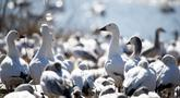 Sekawanan angsa salju terlihat di Kawasan Pengelolaan Satwa Liar Middle Creek, Lancaster County, Pennsylvania, Amerika Serikat, Sabtu (22/2/2020). Ribuan pengamat burung memenuhi Kawasan Pengelolaan Satwa Liar Middle Creek untuk menyaksikan migrasi angsa salju. (Xinhua/Qin Lang)