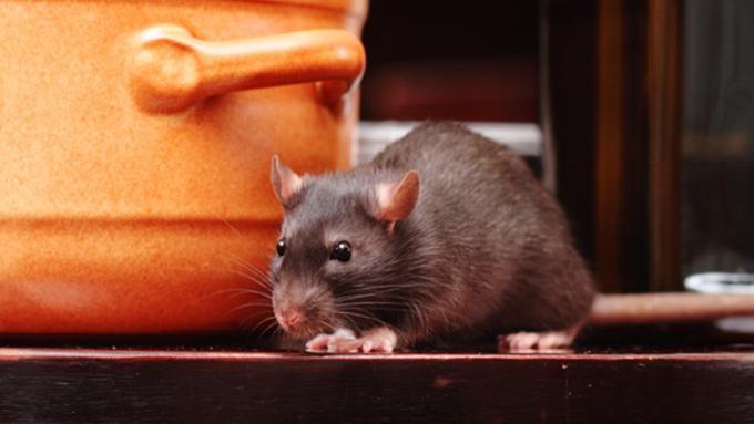 088075000 1546719976 5 cara ampuh usir tikus di rumah tanpa ribet dan mahal