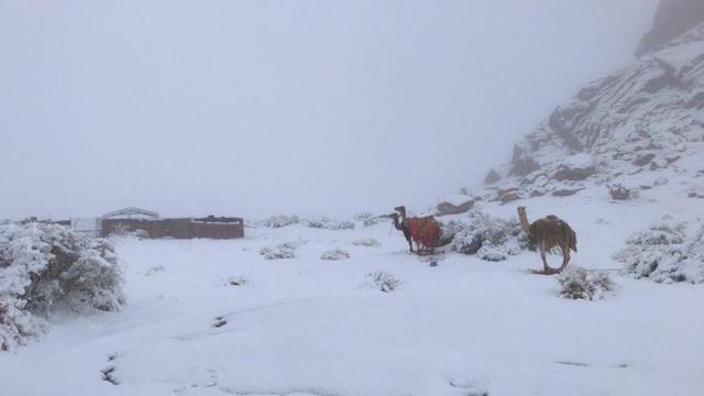Salju turun di wilayah barat laut Arab Saudi. Unta turut menikmati pemandangan.