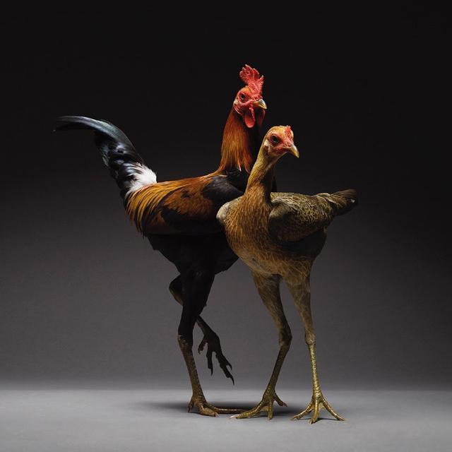 Gaya Ayam Saat Pemotretan Bertema Couple and Love (sumber: instagram/chicken_ph)