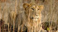 Singa Asia tinggal di hutan Gir di Gujarat (Reuters)