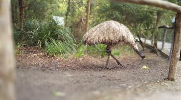 Burung Emu di Healesville Sanctuary Park. (Liputan6.com/Tanti Yulianingsih)