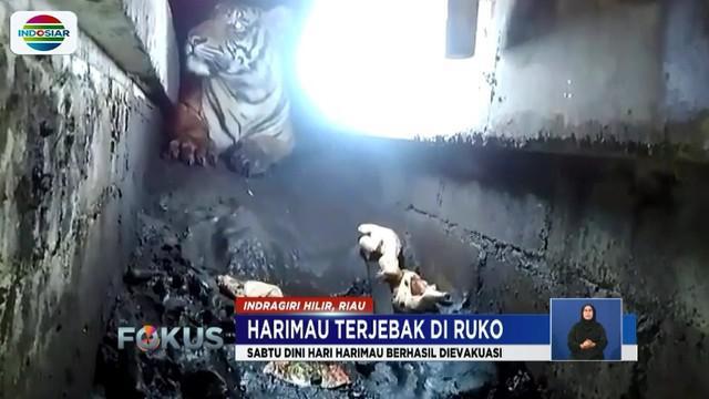 Sempitnya ruangan di bawah ruko, tepatnya di bawah saluran pembuangan air yang tidak sampai 1 meter tingginya menyulitkan upaya Tim BBKSDA Riau untuk mengevakuasi.
