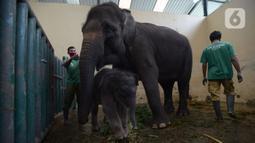 Keeper memberi pakan untuk bayi gajah Sumatera (Sumatran elephant) dalam kandangnya di Taman Safari Indonesia Cisarua, Bogor, Jawa Barat, Rabu (13/5/2020). Bayi  gajah jantan yang lahir 28 April lalu itu diberi nama Covid karena lahir di masa pandemi virus corona COVID-19. (merdeka.com/Imam Buhori)