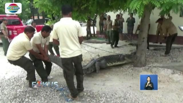 Seekor buaya yang menerkam bocah berusia 12 tahun di Kupang, NTT, berhasil ditangkap dan dievakuasi ke BKSDA, Nusa Tenggara Timur.