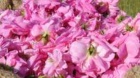L'Occitane Rose Originelle