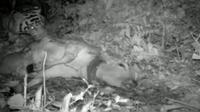 Seekor harimau tertangkap camera trap Sedang memangsa hewan ternak di Langkat
