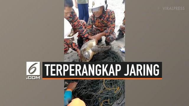 Seekor kura-kura tempayan ditemukan terperangkap jaring nelayan di Pantai Mersing, Johor, Malaysia. Penyelamatan pun dilakukan petugas untuk membebaskan kura-kura tersebut.