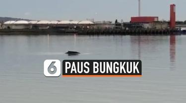 Seekor ikan paus bungkuk ditemukan mati di Sungai Thames, London. Sebelumnya hewan tersebut beberapa kali menampakkan diri selama akhir pekan.