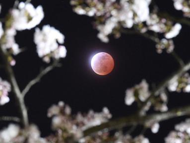 Gerhana bulan terlihat diantara bunga sakura yang tengah mekar di Shiraishi, Prefektur Miyagi, Jepang, Sabtu (4/4/2015). (REUTERS/Kyodo)