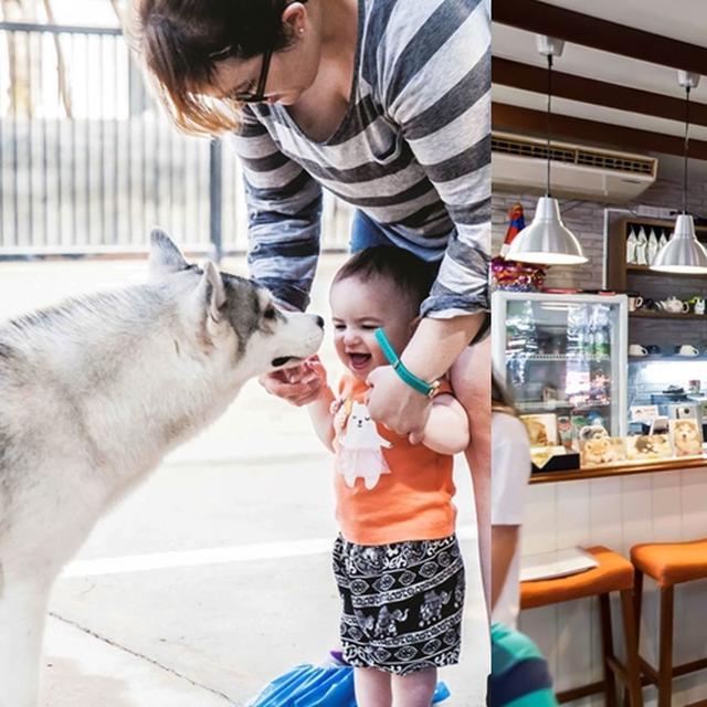 Di Kafe Ini Kamu Bisa Bermain Dengan Siberian Husky Yang Lucu