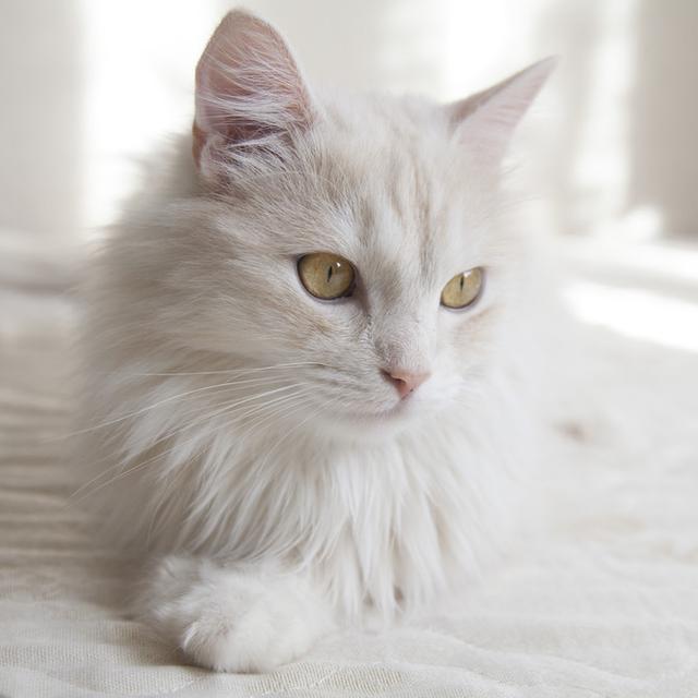4 Ciri Kucing Anggora Asli Jangan Sampai Tertipu Saat Membeli Hot Liputan6 Com