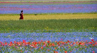 Seorang turis berjalan di tengah-tengah bunga yang sedang mekar dan ladang lentil di Castelluccio, sebuah desa kecil di wilayah Umbria, Italia tengah pada 6 Juli 2020. Setiap tahunnya antara Mei dan Juli, ribuan varietas bunga liar  bermekaran dan menjadi daya tarik wisatawan. (Tiziana FABI / AFP)