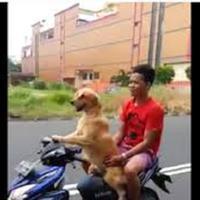 anjing jago motor ini ternyata tinggal di Indonesia lho (foto : istimewa )