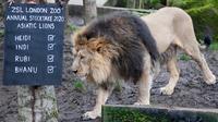 Singa Bhanu terlihat saat sensus tahunan di Kebun Binatang ZSL London, Inggris, Kamis (2/1/2020). Kebun Binatang ZSL London melakukan sensus tahunan terhadap lebih dari 500 spesies. (AP Photo/Frank Augstein)