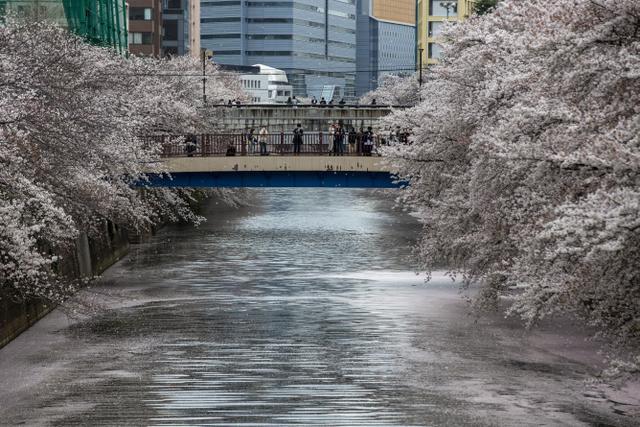 Orang-orang yang mengenakan masker pelindung untuk membantu mengekang penyebaran virus corona berkumpul di jembatan saat bunga sakura bermekaran dan kelopak bunga menutupi permukaan Sungai Meguro di Tokyo, Minggu (28/3/2021). (AP Photo/Kiichiro Sato)