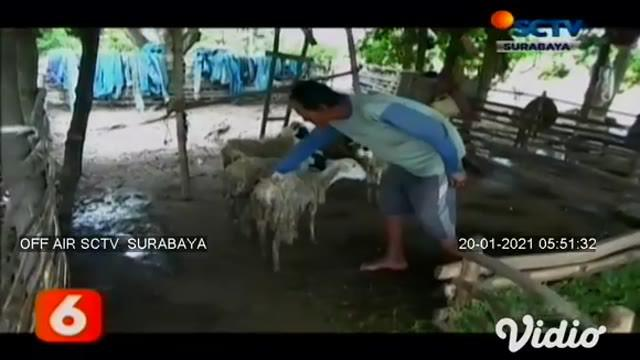 Belasan hewan ternak warga di Kabupaten Tuban, Jawa Timur, ditemukan mati di dalam kandang. Bangkai kambing dan domba yang ditemukan terdapat luka gigitan pada leher dan luka lebar di perutnya. Warga menduga akibat serangan kawanan anjing liar.