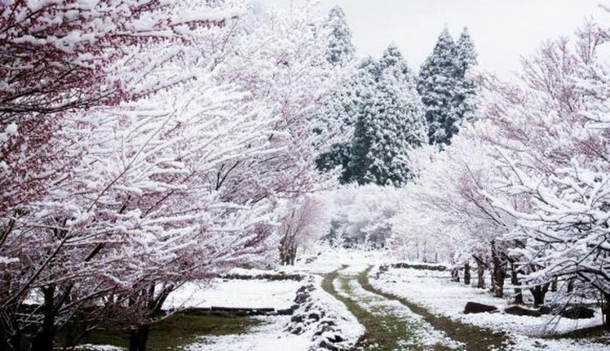 Download 660+ Gambar Bunga Sakura Di Musim Salju Gratis Terbaru
