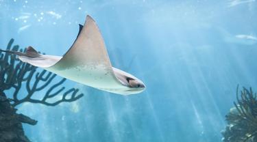 Mengenal Sengatan Ikan Pari Lewat Kasus Menteri Lukman (Natia Tsuleiskiri/Shutterstock)