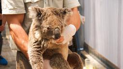Anggota staf memindahkan koala yang diselamatkan di Kebun Binatang Taronga di Sydney (17/12/2019). Puluhan koala berhasil diselamatkan dari jalur kebakaran hutan hebat di dekat Sydney, Australia. Para penyelamat menyebut ahabitat mereka sebagian besar sudah habis dilalap api. (AFP/Taronga Zoo)