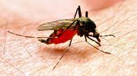 Penelitian di Denmark untuk menciptakan vaksin malaria baru malah mengungkapkan rahasia yang berpotensi untuk pengobatan kanker. (Shutterstock)