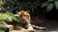 Kebun Binatang Surabaya hari ini mendapat seekor harimau Sumatera dari Taman Safari Prigen.