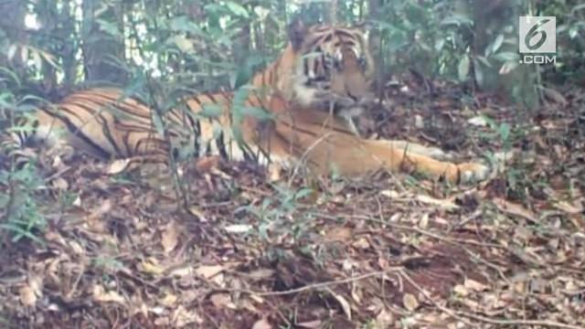 Populasi harimau sumatera di Provinsi Riau terus menurun, karena berbagai faktor diantaranya perburuan liar dan konlflik dengan manusia. Belakangan ini pihak BKSDA Riau merilis penampakan 3 ekor anak harimau Sumatera.