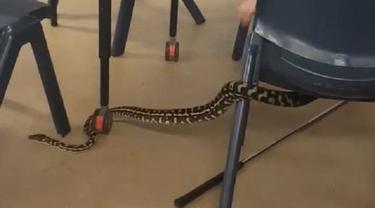 Ular piton masuk kelas di Australia (Noosa Snake Catcher)