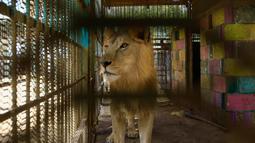 Seekor singa malnutrisi berjalan dalam kandang di Taman Al-Qureshi, ibu Kota Sudan di Khartoum, 19 Januari 2020. Pengelola taman dan tenaga medis menyebut kondisi lima singa di sana menurun selama beberapa pekan terakhir dengan beberapa kehilangan dua pertiga berat badan mereka. (ASHRAF SHAZLY/AFP)