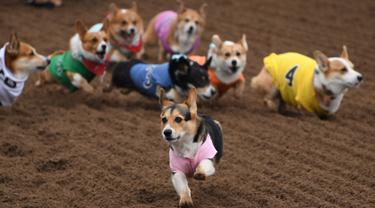 """Anjing-anjing Corgi berlomba dalam kejuaraan """"Corgi Nationals"""" California Selatan di Arena Balap Santa Anita di Arcadia pada 26 Mei 2019. Ratusan anjing corgi yang mengikuti kejuaraan ini memperebutkan gelar anjing tercepat. (Photo by Mark RALSTON / AFP)"""
