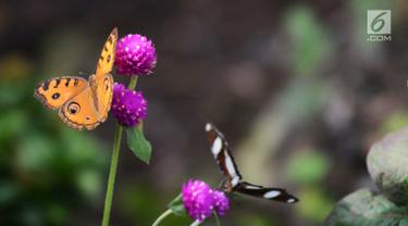 Kupu-kupu hinggap pada bunga di Taman Kupu-Kupu Kalimalang, Jakarta Timur, Jumat  (4/1). Taman Kupu-Kupu Kalimalang dibuat pada tahun 2017. (Merdeka.com/Imam Buhori)