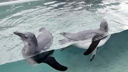 Seorang petugas mengawasi dua ekor penguin Afrika berenang di habitat penguin di National Aviary, Pittsburgh, 12 April 2018. National Aviary adalah bagian dari program pengembangbiakan untuk memastikan populasi Penguin Afrika. (AP Photo/Keith Srakocic)