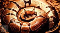 Berikut ini adalah beberapa aksi seksi nan ngeri dari beberapa selebritas Hollywood yang berpose dengan ular berbisa. (iStockphoto)