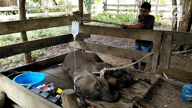 Seekor bayi gajah betina berumur satu tahun ditemukan warga desa Pucok, Pidie, Aceh. Dalam kondisi terluka parah pada bagian kakinya.