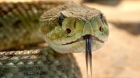 Ilustrasi ular beludak. (Sumber Pixabay)