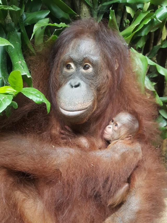lucunya bayi orangutan fitri yang lahir