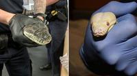 Tiga anggota kepolisian Dutton Park, Brisbane, Queensland, Australia memperlihatkan ular piton zaitun yang disita dari sebuah rumah di Lytton Road, Brisbane Timur. (Queensland Police Service)