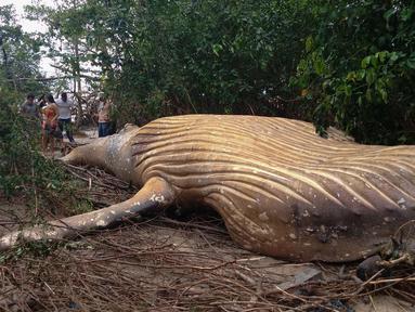 Seekor paus bungkuk ditemukan mati di tengah-tengah vegetasi Pantai Araruna di Pulau Marajo, wilayah hutan hujan Amazon, Brasil pada 22 Januari 2019. Para ilmuwan dikagetkan dengan penemuan bangkai paus tersebut. (HO/Acervo Instituto Bicho D'Agua/AFP)