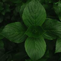 Manfaat daun mint untuk kecantikan kulit. (Foto: unsplash)